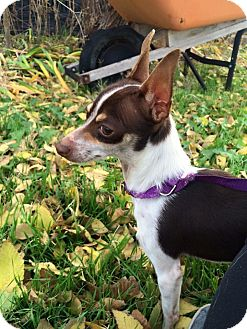 Chihuahua Mix Dog for adoption in Snyder, Texas - Dobby