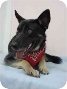 German Shepherd Dog Mix Dog for adoption in Westfield, New York - Troy