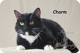 Domestic Shorthair Cat for adoption in Oklahoma City, Oklahoma - Charm