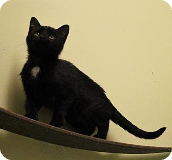 Domestic Shorthair Kitten for adoption in West Des Moines, Iowa - Wednesday