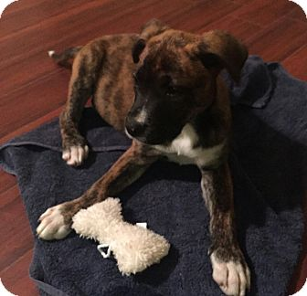 Boxer/Labrador Retriever Mix Puppy for adoption in New Port Richey, Florida - Sophie