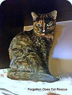 Domestic Shorthair Cat for adoption in Richmond Hill, Ontario - Cinnamon