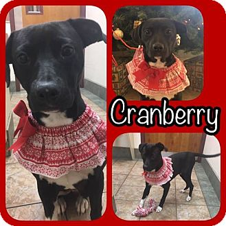 Labrador Retriever/Pit Bull Terrier Mix Dog for adoption in Newtown, Connecticut - Cranberry