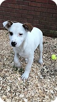 Jack Russell Terrier/Rat Terrier Mix Puppy for adoption in Goodlettsville, Tennessee - Buster