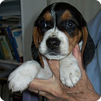 Adopt A Pet :: Etta - Westfield, NY