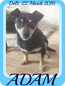 Chihuahua/Miniature Pinscher Mix Dog for adoption in Manchester, New Hampshire - ADAM