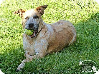 Australian Cattle Dog/Mixed Breed (Large) Mix Dog for adoption in Marlinton, West Virginia - Jordan