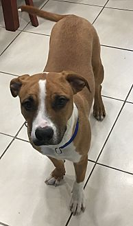 American Bulldog/Beagle Mix Puppy for adoption in Aventura, Florida - Charlie