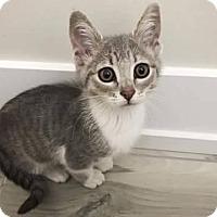 Adopt A Pet :: Hathaway - LaGrange Park, IL