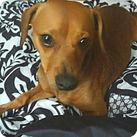 Adopt A Pet :: Brayden - Andalusia, PA