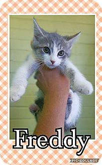 Domestic Mediumhair Kitten for adoption in Edwards AFB, California - Freddy
