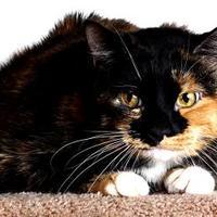 Adopt A Pet :: Bindi - Reno, NV