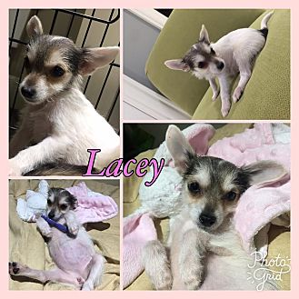 Rat Terrier/Chihuahua Mix Puppy for adoption in Harrisonburg, Virginia - Lacy RBF