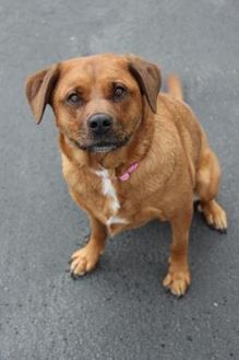 Golden Retriever/Rottweiler Mix Dog for adoption in Manitowoc, Wisconsin - Cocoa
