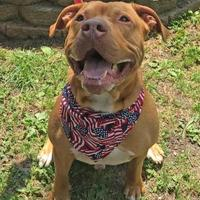 Mastiff Mix Dog for adoption in Voorhees, New Jersey - Uriah