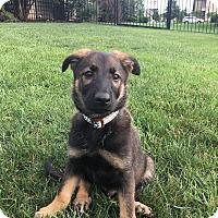 Adopt A Pet :: Bogart - New Oxford, PA