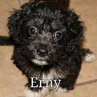Adopt A Pet :: Ernie - Spring, TX