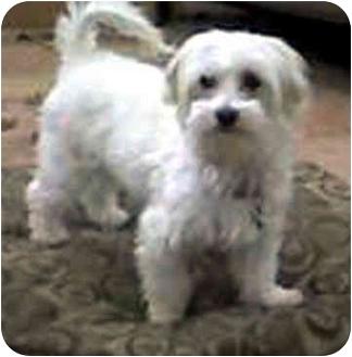 Maltese Dog for adoption in Los Angeles, California - SUGAH
