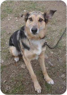Australian Shepherd/Collie Mix Dog for adoption in Menomonie, Wisconsin - Karma