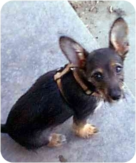 Border Terrier/Chihuahua Mix Puppy for adoption in dewey, Arizona - CHICO