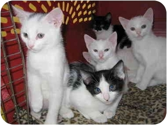 Domestic Shorthair Kitten for adoption in Putnam Hall, Florida - Lacey's kittens