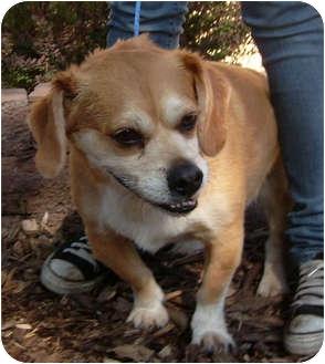 Pug/Cocker Spaniel Mix Dog for adoption in Port Jefferson Station, New York - Ben