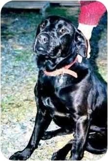 Labrador Retriever Mix Dog for adoption in Clinton, Maine - Clifford