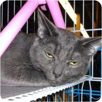 Domestic Shorthair Cat for adoption in Chesapeake, Virginia - Misty & Midnight