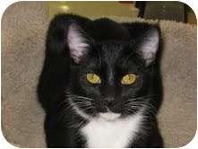 Domestic Shorthair Cat for adoption in Phoenix, Arizona - Walter