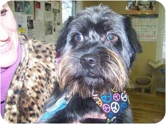 Schnauzer (Miniature)/Pug Mix Dog for adoption in Anderson, Indiana - Houston