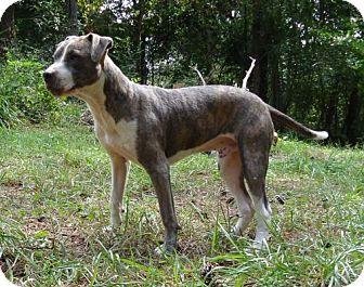 Boxer/Terrier (Unknown Type, Medium) Mix Dog for adoption in Brattleboro, Vermont - Thunder ($200 fee)