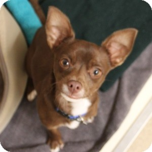 Chihuahua Mix Dog for adoption in Naperville, Illinois - Tramp