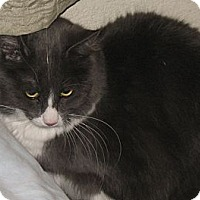 Domestic Shorthair Cat for adoption in Gilbert, Arizona - Jasper