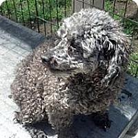 Adopt A Pet :: Pepper - West Hartford, CT
