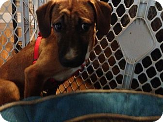 Hound (Unknown Type)/Terrier (Unknown Type, Medium) Mix Puppy for adoption in Worcester, Massachusetts - Clyde
