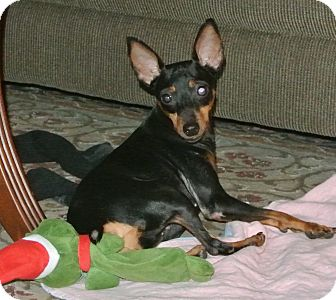 Miniature Pinscher Mix Dog for adoption in Surrey, British Columbia - Holly