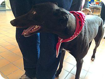 Greyhound Dog for adoption in Oklahoma City, Oklahoma - Christa