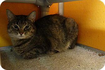 Domestic Shorthair Cat for adoption in Elyria, Ohio - Binks