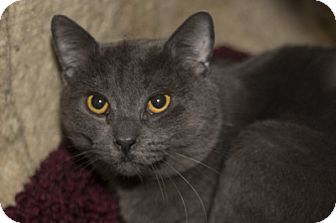 Domestic Shorthair Cat for adoption in Lombard, Illinois - Nicholas
