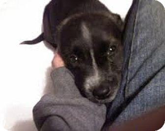 Australian Shepherd/Bull Terrier Mix Puppy for adoption in Sparks, Nevada - Suzie