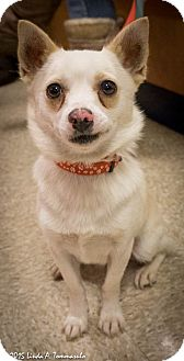 Shiba Inu Mix Dog for adoption in Loudonville, New York - Whisper