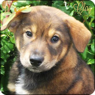 Great Pyrenees/Labrador Retriever Mix Puppy for adoption in Kyle, Texas - Clay