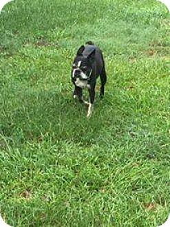 Boston Terrier Dog for adoption in Sumter, South Carolina - Teako