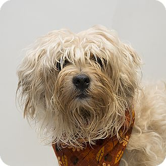Yorkie, Yorkshire Terrier/Poodle (Miniature) Mix Dog for adoption in Troy, Ohio - Corbin