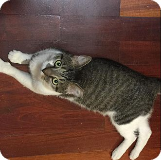 Domestic Shorthair Cat for adoption in New York, New York -  Stripes