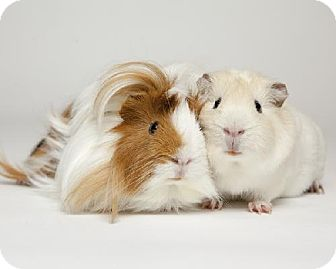 Guinea Pig for adoption in Kingston, Ontario - Fred and Harry
