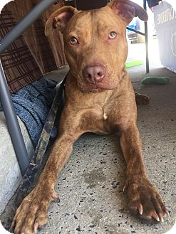Pit Bull Terrier Mix Dog for adoption in Trenton, New Jersey - Denver
