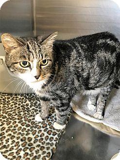Domestic Shorthair Cat for adoption in Toledo, Ohio - Nova