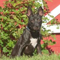 Adopt A Pet :: Ebony *Trainee* - Ashland, VA