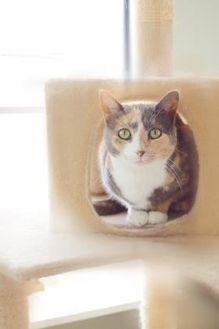 Domestic Shorthair/Domestic Shorthair Mix Cat for adoption in Amelia, Ohio - Izzy